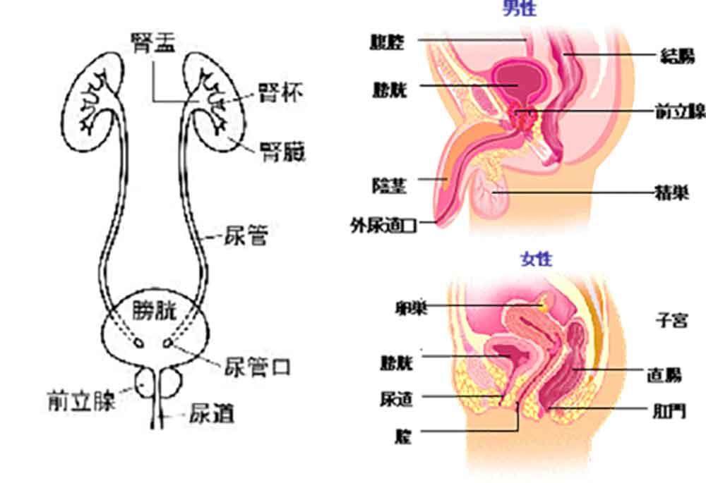膀胱の説明、東京国際大堀病院